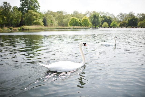 swans-in-hyde-park
